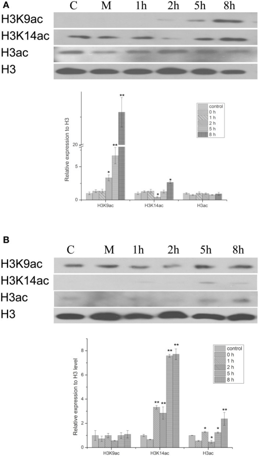 Western blot showing the effect of PEG and HBA on histone H3 acetylation status in nuclear proteins from peanut leaves. (A) H3 acetylation status in peanut leaves treated with 20% (w/v) PEG. (B) H3 acetylation status in peanut leaves treated with 100 μM ABC. C, control group; M, Mock plants were placed in an equivalent volume of deionized water as experimental plants; 1–8 h, time point after treatment. The experiments have been carried out at least three times. Each graph displays the mean and SD of three independent experiments. */**, different from control as revealed by t-test, p < 0.05/0.01.