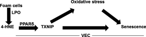 Suggested model of foam cell-induced VEC senescence. Foam cell-derived lipid peroxidation products, among which 4-HNE, reach VEC and activate PPARδ and subsequently increase the expression of TXNIP which augments oxidative stress and VEC senescence.
