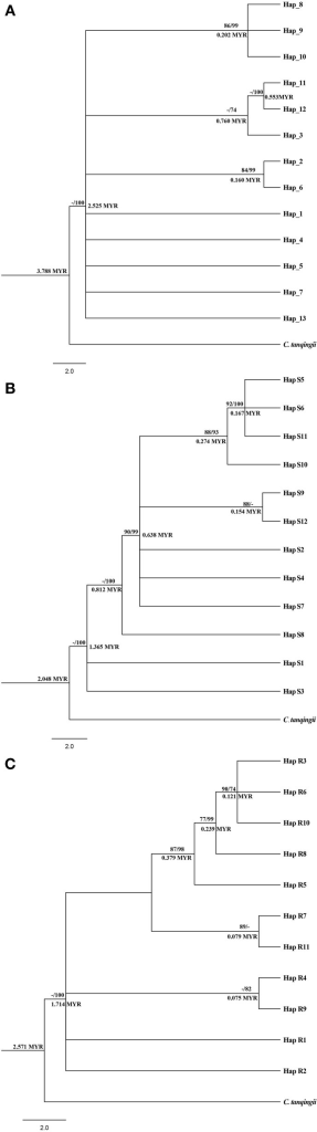 Phylogenetic analysis and divergent time obtained from cpDNA haplotypes (A), nDNA SmHP haplotypes (B), and nDNA RPB1 haplotypes (C) of the three Cycas species. Number above the line of each note stands for the bootstrap value of Maximum Likelihood/and posterior probability (PP) inferred from Bayesian inference (for PP > 70). Number below the line represents divergent time by BEAST v1.7. MYR: million years.