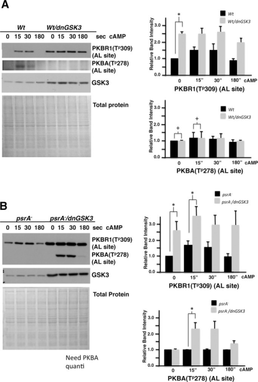 Introducing dnGSK3 increased PKBA and PKBR1 activities in psrA− cells. (A) Wt cells expressing the dnGSK3 exhibited higher levels of basal phosphorylation of PKBR1, which persisted upon cAMP stimulation (*, p < 0.05). No such significant changes were observed for PKBA phosphorylation (+, p > 0.05). The phospho-PKBR1 levels were normalized to Coomassie-stained total proteins. (B) psrA− expressing the dnGSK3 showed high basal and persistent poststimulus phosphorylation of PKBR1 (three independent experiments, ∼2.5-fold higher basal and twofold increase in 15-s poststimulus levels; +, p < 0.05) and exaggerated poststimulus phosphorylation of PKBA. The phospho-PKBs levels were normalized to Coomassie-stained total proteins. Error bars represent SD.