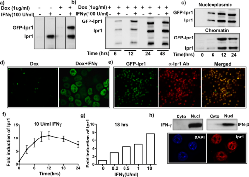 IFNγ regulates expression of Ipr1 at transcriptional and posttranscriptional levels in the nucleus of macrophages.(a) Expression of GFP-Ipr1 and endogenous Ipr1 in macrophage cell line J774A.1 clone J7-21. Nuclear extracts were prepared from J7-21 cells untreated (−) or treated with 1 μg/mL dox and/or 100 U/mL IFNγ for 24 hrs. GFP-Ipr1 and endogenous Ipr1 proteins were detected by immunoblotting; (b) Nuclear extracts from J7-21 cells treated with 1 μg/mL dox and/or 100 U/mL IFNγ for indicated times were prepared and GFP-Ipr1 expression was detected by immunoblotting. (c) Nuclei of J7-21 cells treated with 1 μg/mL dox and 100 U/mL IFNγ for 24 hrs were fractionated into nucleoplasmic and chromatin fractions and endogenous Ipr1 and GFP-Ipr1 was detected by immunoblotting. All immunoblots were carried out using Ipr1 specific rabbit polyclonal antibodies. (d) Immunofluorescence of J7-21 cells treated with 1 μg/mL dox alone and in presence of 100 U/mL IFNγ for 24 hrs for GFP-Ipr1 detection (FITC channel). (e) J7-21 cells were treated with 1 μg/mL dox and 100 U/mL IFNγ for 24 hrs and stained with Ipr1-specific monoclonal antibody (red, central panel), eGFP-Ipr1 is green (left panel) and merged image is yellow (right panel). (f) Real time RT-PCR analysis of the kinetics of Ipr1 mRNA expression in primary macrophages (C57BL/6 J BMDMs) after treatment with10 U/mL IFNγ for indicated times. (g) Dose dependent effect of IFNγ on Ipr1 mRNA expression in primary macrophages. B6 BMDMs were treated with indicated doses of IFNγ for 18 hrs. Ipr1 mRNA expression was determined using real-time RT-PCR, normalized to expression of RPS17 mRNA and presented relative to expression in untreated cells (set as 1). All qPCR results represent data from two independent experiments. (h) Top panel - Ipr1 protein expression in primary macrophages. Immunoblot analysis of nuclear and cytoplasmic extracts of C57BL/6 BMDM treated with 10 U/mL of IFNγ and 100 U/mL IFNβ for 24 hrs using Ipr1 specific polyclonal antibodies. Immunoblots represent data from at least two independent experiments. Lower panel - Immunofluorescence of B6 BMDMs stimulated with 10 U/mL IFNγ for 24 hrs showing nuclear localization of Ipr1. Cells were stained with anti-Ipr1 monoclonal antibody (red); nuclei are counterstained with DAPI (blue). All microscopic images represent data from at least two independent experiments.