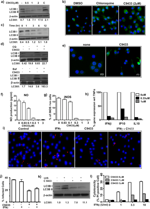 C9433 induces autophagy in primary macrophages and promotes bacterial clearance.(a) BMDM were treated with different doses of C9433 for 16 hrs and probed with LC3B mAb. A mix of chloroquine(10 μM) and rapamycin(500 nM) was used as a positive control (C). (b) BMDM was treated with compound for 16 hrs and autophagy induction was determined using Cyto-ID Autophagy Detection kit. (c) BMDM were treated with 1 μM compound for indicated time and probed with LC3B mAb. (d) BMDM were treated with 1 μM compound for 6 hrs. Bafilomycin(50 nM) and chloroquine(30 μM) were added to the cells 2 hrs before harvesting and probed with LC3B antibody. All blots represent data from two independent experiments. (e) iBMM cells were treated with 1 μM compound for 6 hrs and autophagic puncta was detected using confocal microscopy. (f) BMDM were treated with 15 ng/mL TNFα and 10 U/mL IFNγ for 24 hrs in the presence and absence of C9433 and NO production was determined. (g) iNOS expression was determined in the above samples using specific anti-iNOS antibody using celigo cytometer. Two independent experiments performed in triplicates. (h) BMDM were treated with 10 ng/mL TNFα in the presence of C9433 for 24 hrs. mRNA expression of IFNβ, IP10 and IL10 were measured by q-PCR. Data is represented as % of gene expression relative to 10 ng/ml TNFα treated cells from two independent experiments. (i) BMDMs were either untreated or pretreated with 2 μM C9433, 0.5 U/mL of IFNγ alone or in presence of compound for 16 hrs and then infected with F.t. LVS at MOI 1 for 24 hrs. Bacteria were detected using anti-F.t. LVS antibodies(red), nuclei counterstained with DAPI(blue). (j) 100 cells were counted per condition to detect intracellular bacteria and the % of infected cells were calculated. Microscope images represent data from at least two independent experiments. (k) F.t. LVS infected BMDM in presence and absence of compound were probed with anti-LC3B mAb. (l) BMDM were pretreated with C9433 for 16 hrs in the presence or absence of IFNγ and then infected with F.t. LVS at MOI 10. After 7 hrs% of PI- positive cells were enumerated using celigo cytometer. Two independent experiments were performed in triplicates.