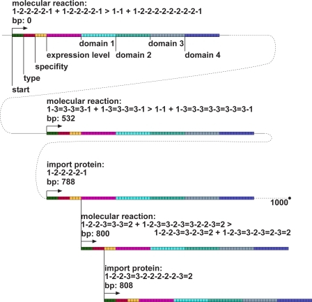 Structure of the 1,000 bp Ancestral Genome Used To Start All Evolutionary RunsEach gene begins with a start codon (green), followed by type, expression level, and specificity determining regions (red, yellow, pink, respectively), followed by domains encoding protein affinity. The last two reading frames (at 800 bp and 808 bp) are overlapping genes.