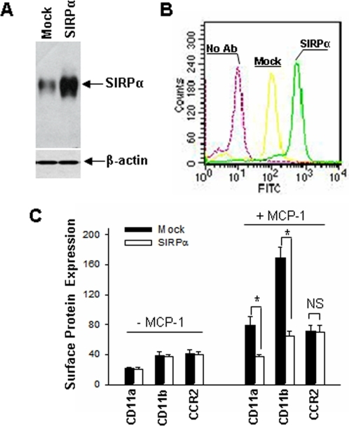 SIRPα overexpression in THP-1 cells and its effect on cell surface expression of β2 integrins and CCR2.THP-1 cells were transfected with the empty pcDNA3.1 vector (Mock) or the SIRPα-encoding pcDNA3.1 vector (SIRPα). A: SIRPα protein level in SIRPα– or mock– transfected THP-1 cells; B: Cell surface SIRPα expression in Mock– and SIRPα–transfected THP-1 cells; C: THP-1 cell surface expression of CD11a, CD11b, CD11c and CCR2. Note that SIRPα overexpression significantly suppressed MCP-1–induced up-regulation of THP-1 surface expression of CD11b and CD11a but not CCR2, and that SIRPα overexpression did not affect the basal level of β2 integrins. All data are mean±SD of three independent experiments.