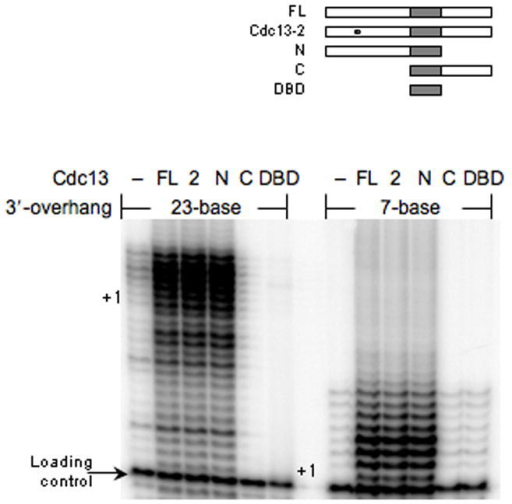 The amino-terminal domain of Cdc13 has a telomerase-activation function. The effect of full-length (FL) Cdc13, Cdc13-2 (2), amino-terminus (N), carboxyl-terminus (C) or DNA binding domain (DBD) proteins (250 nM) on telomerase DNA extension using 7- or 23-base 3′-overhang DNA substrates was determined. All extension reactions were supplemented with a loading control primer (arrow) prior to precipitation and electrophoretic resolution and the +1 position for each DNA substrates is marked.