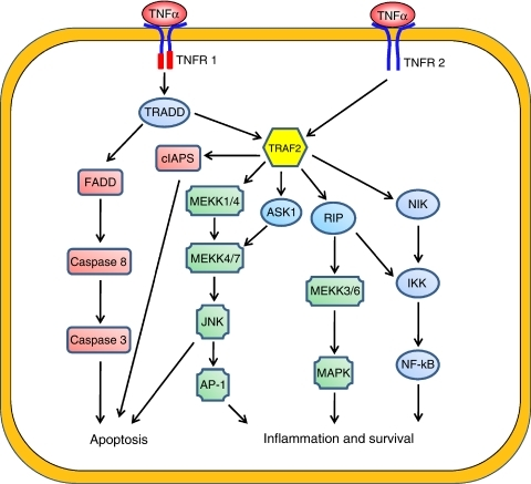 The downstream signalling pathways of TNF-α. The TNF-α can activate different pathways to induce apoptosis, cell survival or inflammation. Tumour necrosis factor induces the apoptosis by binding caspase-8 to FADD and promotes inflammation and survival, which is mediated through TRAF2 via JNK-dependent kinase cascade, MEKK kinase cascade and NF-κB activation by RIP.