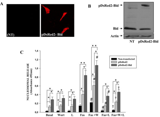 Effect of Bid overexpression on anti-Fas induced apoptosis of RA FLS. Rheumatoid arthritis (RA) fibroblast-like synoviocytes (FLS) were transfected with pDsRed2-Bid or pDsRed2 control vector, 48 hours after transfection Bid expression was analysed by (a) immunofluorescence and (b) western blot. Representative experiments are shown. (c) After transfection, cells were left untreated (Basal) or treated for 12 hours with 1 μg/ml anti-Fas antibody or pretreated for one hour with Wortmannine (Wort) or with Wort and the caspase-9 inhibitor, Z-LE(OMe) HD (O Me) FMK (LEHD), before Fas stimulation. Apoptosis was analysed by ELISA. Data are the mean (standard error of the mean) of six RA FLS lines. * indicates P < 0.05 versus basal, # indicates P < 0.05 versus anti-Fas-only treatment and † indicates P < 0.05 versus anti-Fas and Wort treatment.