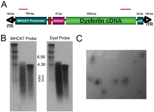 "Analysis of genomes isolated from rAAV5.DYSF.DNA was isolated from rAAV5.DYSF vector preparation and used for Southern blot and PCR analysis. (A) Schematic of rAAV5.DYSF cassette. Strand specific hybridization probes used for Southern blot analysis are indicated by red bars. (B) Southern blot analysis of rAAV5.DYSF genomic DNA with 5′ MHCK7 probe (lane D, left side) and 3′ dysferlin probe (Lane D, right side). A 4.2 kb control vector genome was used as a standard for packaging (C in each blot). ""M"" denotes marker lane. (C) Electron microscopy of rAAV5 vector prep revealed virions with normal morphology."