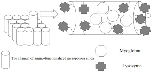 Schematic representation of the principle. First, the myoglobin was adsorbed into the channel of amino-functionalized mesoporous silica. Second, the lysozyme was linked to the external and internal surface of amino-functionalized mesoporous silica. The resulting product possessed two different enzymatic activities.