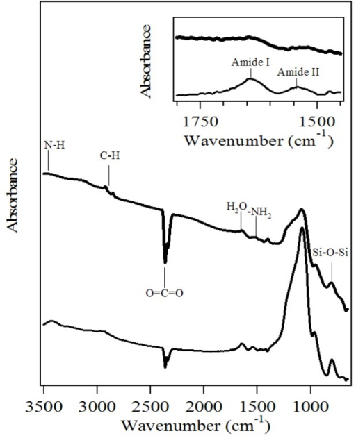 Fourier transform infrared (FTIR) spectra of amino-functionalized mesoporous silica (heavy line) and the sample after myoglobin adsorption (fine line).