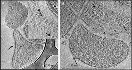 Cryo-EM of surface-layer on an AMD plasma cell from the Richmond Mine. Insets show a higher magnification. Arrows point to putative surface-layer proteins. Panel A and panel B show evidence of proteinaceous surface layers in two different cells collected from the Richmond Mine AMD.