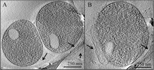 Cryo-electron microscopy of AMD plasma cells with putative pili. Panel A and panel B show evidence of pili on two different cells collected from the Richmond Mine AMD. Arrows point to pili. Vesicle-like structures are delineated by a single membrane layer around an ovoid shape in each cell's cytoplasm.