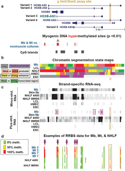 Cell type–specific differences in DNA methylation and transcription in the region containing HOXB5, HOXB6 and HOXB-AS3 variant genes. (a) 42 MbMt-hypermethylated sites in a subregion of HOXB (chr17:46,665,998–46,684,371). (b) Chromatin segmentation state maps. (c) Strand-specific RNA-seq as in Figure 4. The pink boxes indicate the RNA-seq evidence for HOXB-AS3 variant 3 as the predominant variant expressed in Mb. (d) RRBS data for two control Mb cell strains and Mt preparations derived from them, as well as two fetal lung fibroblast cell strains analyzed as technical duplicates. Arrows and highlighted subregions are described in the text.