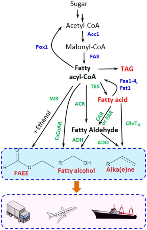 Metabolic pathways for fatty acid-derived biofuel and chemical biosynthesis are shown. Acc1, acetyl-CoA carboxylase; FAS, fatty acid synthase; Pox1, acyl-CoA oxidase; Faa1-4 and Fat1, acyl-CoA synthetase; TES, thioesterase; ACR, fatty acyl-CoA reductase for fatty aldehyde synthesis; FaCoAR, fatty acyl-CoA reductase for fatty alcohol production; CAR, carboxylic acid reductase; FAR, fatty acid reductase; WS, wax ester synthase; ADO, aldehyde-deformylating oxygenase; ADH, alcohol dehydrogenase. The blue marked enzymes responsible for the endogenous fatty acid metabolism, while the green ones transform fatty acids and intermediates to different biofuels and oleo-chemicals.
