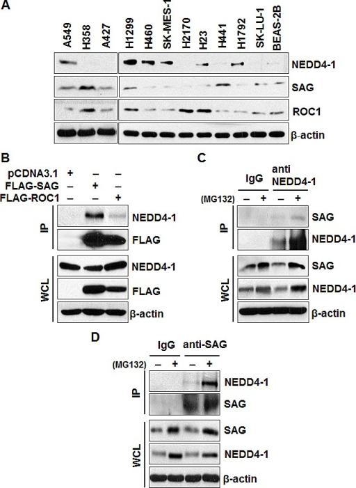 Levels of SAG and NEDD4-1 in lung cancer cells and SAG-NEDD4-1 binding(A). Protein levels of NEDD4-1, SAG, and ROC1 in multiple lung cancer cell lines and a normal cell line, BEAS-2B. Cell lysates were prepared from indicated cell lines, followed by Western blotting with equal amount protein loaded, using indicated antibodies. (B). SAG immunoprecipitates endogenous NEDD4-1. 293 cells were transiently transfected with FLAG-SAG and FLAG-ROC1, along with pCDNA3.1 vector control. Cells were lysed and immunoprecipitated with FLAG antibody, followed by IB with indicated antibodies. (C&D). Binding of endogenous SAG and NEDD4-1. H1299 cells were left untreated or treated with 10 μM MG132 for 4 hrs prior to harvesting. Whole cell extracts were immunoprecipitated with antibodies against NEDD4-1 (C) or SAG (D), along with IgG control, followed by Western blotting with indicated antibodies.