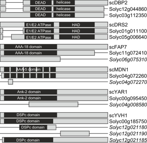RBF co-orthologs with alterations in domain architecture. Alignments given in Supplemental Alignment 1 are shown as bar diagrams including the Pfam domains assigned. See Supplementary Table 3 for visualization of differences. Italics indicates the genes excluded from further analysis; italics and underlined indicates the gene found in unigene database, but not yet represented by a Solyc ID.