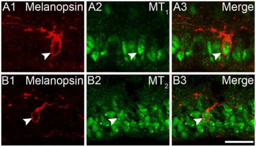 Neonatal expression of melatonin receptors on rat ipRGCs.(A1-A3) Confocal fluorescence microphotographs of a rat retinal section harvested at P0, showing that MT1 receptor is immunohistochemically localized to the cytoplasm of a melanopsin-positive cell (arrow head). (B1-B3) Confocal fluorescence microphotographs of P0 rat retina, double labeled by melanopsin and MT2. MT2 immunoreactivity was detected in the cytoplasm of a melanopsin-expressing cell (arrow head). Scale bar = 20 μm.