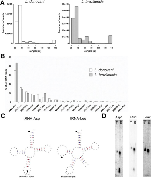 tRNA-derived fragments are cargo of leishmania exosomes. A. Length distributions of reads mapping to tRNAs in L. donovani and L. braziliensis exosome RNA sequencing libraries. B. Bar graph showing percentages of reads from L. donovani (white bars) and L. braziliensis (grey bars) mapping to the respective tRNA isoacceptors. C. tRNA secondary structures for leishmania tRNA-Asp and tRNA-Leu (downloaded from [38]). Arrowheads indicate major cleavage products as observed in the sequenced libraries. D. Northern blots with probes designed against tRNA-Asp (Asp1) and tRNA-Leu (Leu1 and Leu2). L. donovani total (T) and exosome (E) RNA were probed on the same membrane. Equal amounts of RNA (3 μg) were loaded in each lane. Asp1 and Leu1 probes were designed to specifically detect full length tRNA as well as t-RNA-derived small RNAs seen in sequencing libraries, whereas Leu2 was designed against the mid region (anticodon loop) of tRNA-Leu and hence only detects the full length tRNA.