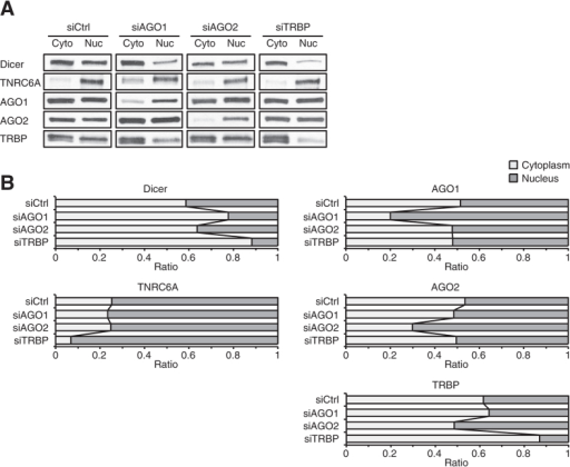Relative levels of RNAi factors between the cytoplasm and the nucleus in T47D cells.(A) Western blot data showing relative levels of Dicer, TNRC6A, AGO1, AGO2, and TRBP between the cytoplasm and the nucleus in siCtrl-, siAGO1, siAGO2, or siTRBP-treated cells. [dsRNA] = 25 nM. The cytoplasmic and nuclear fractions were prepared in the equal amount of buffers. A equal volume of samples from each fraction were analyzed by SDS-PAGE to evaluate relative levels of each protein between the cytoplasm and the nucleus. Data were representative from three independent experiments. (B) Ratio of each RNAi factor between the cytoplasm and the nucleus after siCtrl, siAGO1, siAGO2, or siTRBP treatment. Data were averaged from 9 data sets for siCtrl-treated samples and 3 data sets for siAGO1-, siAGO2-, or siTRBP-treated samples.