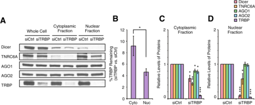Effect of TRBP knockdown on levels of other RNAi factors in the cytoplasm and the nucleus.(A) Western blot data showing levels of Dicer, TNRC6A, AGO1, AGO2, and TRBP proteins in the whole cell and the cytoplasmic and the nuclear fractions after siCtrl or siTRBP treatment. siCtrl and siTRBP were transfected into T47D cells at 25 nM. Equal amount of proteins (25 μg) from each fraction were analyzed by SDS-PAGE. Data were representative from three independent experiments. (B) %TRBP remaining after siTRBP treatment in the cytoplasm and the nucleus. n = 3. Error bars are SD. *p < 0.05 (unpaired t-test). (C,D) Quantitation of data shown in panel A and independent replicates (n = 3) showing levels of Dicer, TNRC6A, AGO1, AGO2, and TRBP proteins in the cytoplasmic (C) and the nuclear (D) fractions after siTRBP treatment relative to siCtrl treatment. Error bars are SD. *p < 0.05, **p < 0.01, and ***p < 0.001 relative to siCtrl treatment (paired t-test).
