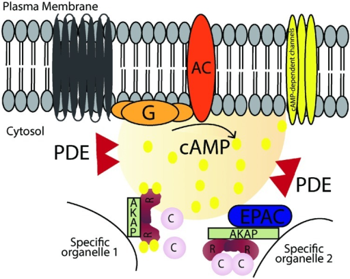 Schematic illustration of cAMP signaling pathways. Stimulation of G-protein-coupled receptors leads to activation of adenylyl cyclase (AC), which converts ATP into cAMP. cAMP increases in local microdomains and binds to different effectors such as protein kinase A (PKA), cyclic nucleotide gated ion channels and exchange protein directly activated by cAMP (Epac) leading to specific downstream effects. Cyclic nucleotide phosphodiesterases (PDEs) hydrolyse cAMP into AMP and terminates the signal. A-kinase anchoring proteins (AKAPs) anchor the signaling molecules involved in the pathway and target them to specific organelles in the cell.