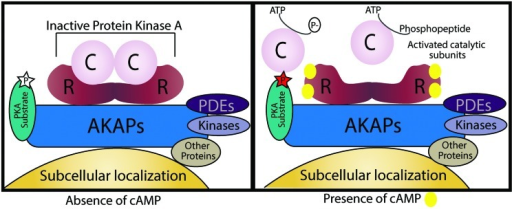 Schematic illustration of an A kinase anchoring protein (AKAP). AKAPs are categorized by four different characteristics. First, an amphipathic α-helical region of the AKAP interacts with D/D-domain of the PKA R-subunit dimer. Second, they target the supramolecular complex to specific subcellular localizations. Third, AKAPs may also hold PKA substrates by direct binding or by targeting in their vicinity. Lastly, AKAPs can also function as signaling scaffolds for other signaling enzymes. In the absence of cAMP, PKA is inactive and its substrates are not phosphorylated, when cAMP levels increase it binds to the R-subunits and the active catalytic subunits are free to phosphorylate their targets.