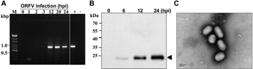 Detection of the viral B2L gene expression and viral OV20.0 protein in infectedprimary goat cells. (A) RNA was extracted from cells infected with ORFV at 0, 1, 2, 3,12, 20 and 24 hpi (lanes 1–7) for reverse transcription (RT) − PCR detection. Thetranscription of B2L appeared at 2 and 3 hr post-infection and then was salientlyincreased at 12, 20 and 24 hpi. The RT was conducted without reverse transcriptase(−). + indicates a positive control in which DNA template is derived from viruslysate. (B) The expression of OV20.0 (the ortholog of vaccinia virus E3 protein) wasobserved at 6 hr, 12 hr and 24 hr after infection; the expected molecular weight ofOV20.0 is 25 kDa indicated by the arrowhead. Lane 1 is mock infection. Electronmicrograph of orf viruses (C) prepared from primary goat testis cells. Thecharacteristic morphology of orf virus was observed, and viral particles showedovoid-shape with a spiral crisscross pattern (bar=100 nm).