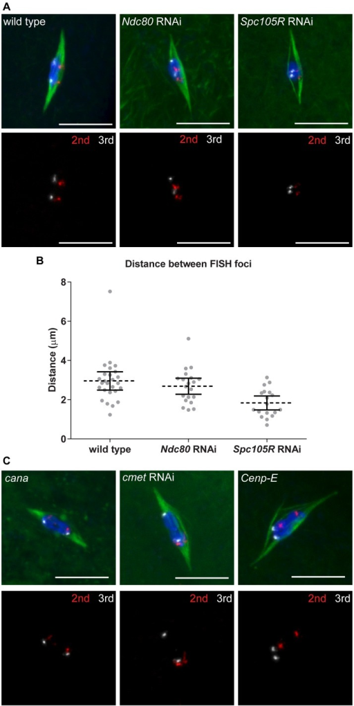 Homologous chromosome bi-orientation depends on kinetochores and CENP-E in oocytes.Confocal images of FISH probes marking the 2nd (red) and 3rd (white) chromosome centromeres. DNA is in blue and tubulin is in green in merged images. Only FISH probes are shown in the panel below each merged image. Scale bars represent 10 μm. (A) Oocytes from wild type and after knockdown of Ndc80 or Spc105R. (B) Dot plot of the distance between pairs of FISH foci in wild-type oocytes and after knockdown of Ndc80 or Spc105R. Horizontal dotted lines show the mean, error bars show 95% confidence intervals. (C) Oocytes from cana/Df, after knockdown of cmet, and Cenp-E germline clones. The data is summarized in Table 2.