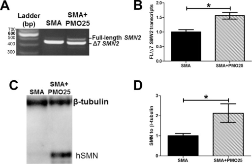 Systemic delivery of PMO25 increased SMN2 exon 7 inclusion and SMN protein expression in intestine.(A) Representative image of reverse transcriptional polymerase chain reaction (PCR) showed the partial increase of full-length SMN2 in SMA mice after PMO25 treatment. (B) Quantitative real-time PCR of full-length SMN2 to Δ7 SMN2 transcript ratio. (C) Western blotting assay of human SMN protein in intestine tissues from SMA and PMO25 treated SMA mice. β–tubulin was used as loading control. (D) Semi-quantification of SMN protein relative to tubulin control. Data were normalized to the ratio of SMN/tubulin in untreated SMA mice. (N = 3, *P< 0.05)