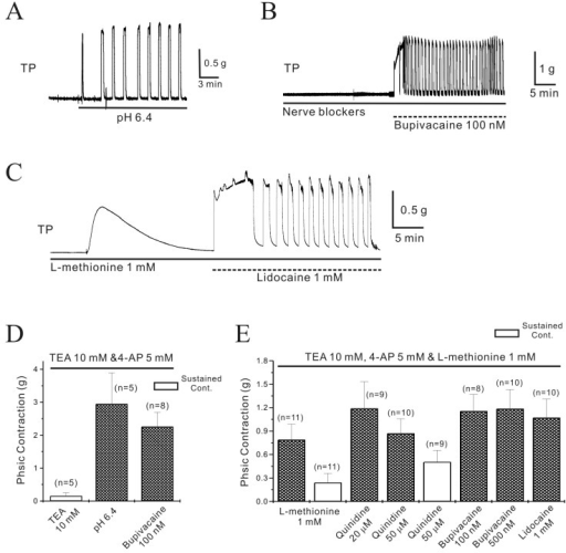 Regulation of pregnant mouse myometrial contractility by TASK-2 channel inhibitors in the presence of TEA and 4-AP.The TASK-2 inhibitors produced contractions in pregnant myometrium in the presence of TEA and 4-AP. (A) Extracellular acidosiso (pHo=6.4) produced contractions in pregnant myometrium. (B) Bupivacaine (100 nM) also produced robust contractions even in the presence of nerve blockers. (C) L-methionine (1 mM), which inhibits stretch-dependent K2P channels (TREK-1), produced contractions that spontaneously decayed to near baseline values within 10~15 min. However, lidocaine produced robust contraction in the presence of L-methionine. (D~E) Data are summarized.