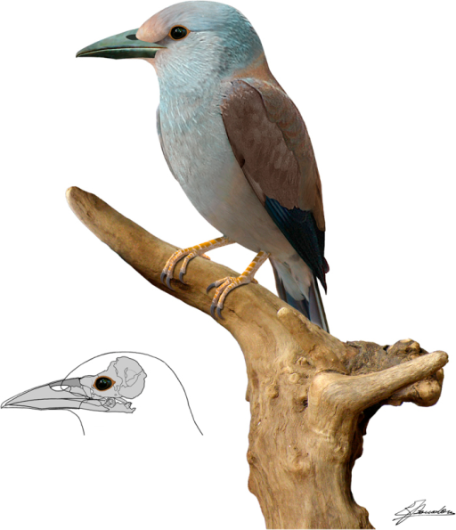 Life reconstruction of Septencoracias morsensis gen. et sp. nov.Salient diagnostic features of the new fossil relative to other rollers include the larger skull and the small, ovoid and dorsally positioned narial openings. Septencoracias is represented with a brownish and bluish plumage, because brownish and/or bluish feathers occur in all species of rollers and most species of ground-rollers32, and are probably primitive within the Coracii. Plumage pattern and colour are partly based on modifications from: Christian Svane (csv) - Own work, CC BY-SA 2.5, https://commons.wikimedia.org/w/index.php?curid=719240. Artwork by E.B.