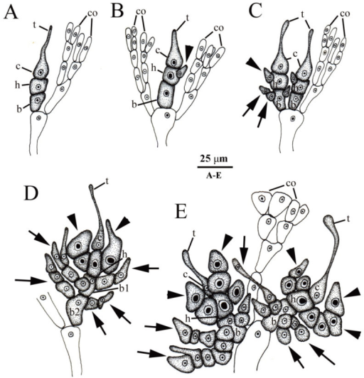 Drawings of carpogonial branches ofGalaxaura pacificaTanaka from Small Port, KNP, southern Taiwan.(A) Type I carpogonial branch pattern showing that the carpogonial branch initiation replaces one of cortical filaments (co). The carpogonial branch consists of the carpogonium (c) with the trichogyne (t), the hypogynous cell (h), and the basal cell (b); (B) Type II carpogonial branch pattern showing that the carpogonial branch initiation arises between cortical filaments (co). The carpogonial branch consists of the carpogonium (c) with the trichogyne (t), the hypogynous cell (h) bearing the sterile cell (arrowhead), and the basal cell (b); (C) Type III carpogonial branch showing a mixture of type I and type II carpogonial branch pattern. The carpogonial branch consists of the carpogonium (c) with the trichogyne (t), the hypogynous cell (h) bearing the sterile cell (arrowheads), and the basal cell (b) bearing several sterile filaments (arrows); (D) Developed type I carpogonial branch showing the carpogonium (c) with trichogyne (t), the hypogynous cell (h) bearing several sterile cells (arrowheads), and two basal cells (b1, b2) producing many sterile filaments (arrows); (E) Developed type III carpogonial branch showing the carpogonium (c) with trichogyne (t), the hypogynous cell (h) bearing several sterile cells (arrowheads), and the basal cell (b) producing many sterile filaments (arrows).