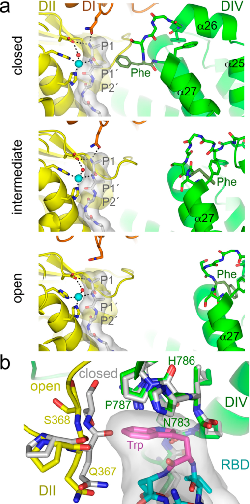 APN dynamics in catalysis and CoV recognition.(a) The active site of the closed, intermediate and open APN during peptide hydrolysis. The active site at domain II (DII, yellow) contains a modeled poly-alanine peptide coordinated to the zinc ion (cyan sphere). Side chains of APN active site residues are shown with sticks, whereas the poly-alanine is shown as a gray surface with residues as sticks (carbons in grey). N-terminal peptide residues (P1-P1′-P2′) are labeled. Nitrogens, blue; oxygens, red; hydrogen bonds are dashed lines. The helices of the ARM repeat (α25-α27) in domain IV (DIV, green) with the phenylalanine residue that contacts the peptide in the closed conformation (Phe893 in pAPN) are labeled. The crystal structure of the poly-alanine bound to the pAPN (PDB code 4HOM) was used to model it in the active site of closed, intermediate and open structures by structural superposition based on domain II. (b) Conformation of the CoV binding cavity at the domain II-IV interface in the closed and open pAPN structures. Structures were superposed based on domain IV. Ribbon diagrams of the open pAPN in complex with the porcine CoV RBD (Supplementary Fig. S1b), with residues that contact the RBD in sticks with carbons in yellow (domain II) and green (domain IV). The same residues are shown for the superposed closed structure (carbons in grey). The RBD motif that penetrates the pAPN cavity is shown with a grey surface and with residues as sticks (carbons in cyan or in magenta for Trp).