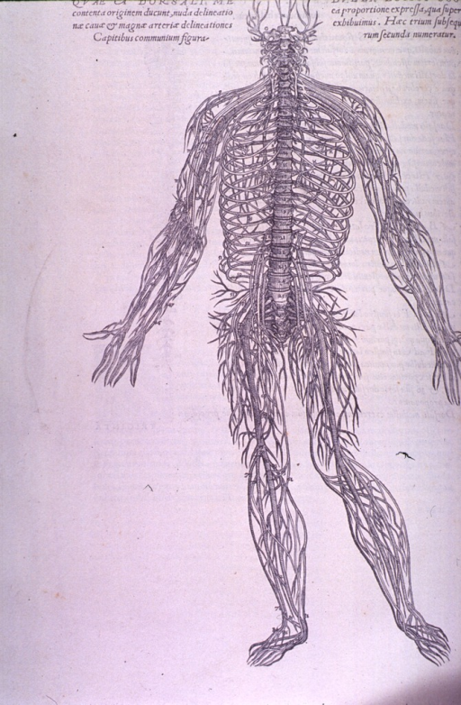 <p>The spinal nerves.</p>