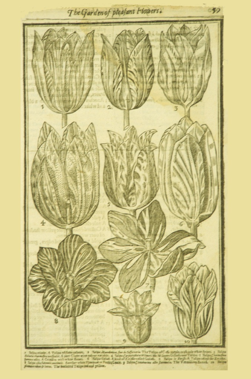 <p>Woodcut illustration of eight types of tulips.</p>
