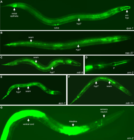 Expression of Molting Gene gfp Fusion GenesExpression o   Open-i