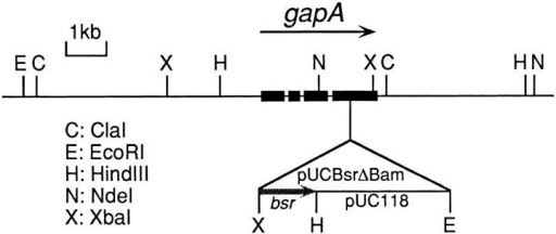 Restriction map around the Dictyostelium gapA gene  and the tag integration site of the REMI mutant, D42-2. Genomic  DNA from the D42-2 strain was digested with the restriction enzymes indicated, and then analyzed by Southern blotting using  linearized pUC118, a portion of the tag, as a probe. Information  obtained on restriction analysis of the rescued plasmids is also included. The four exons of the gapA gene are indicated by thick  lines. bsr, blasticidin S-resistance marker.