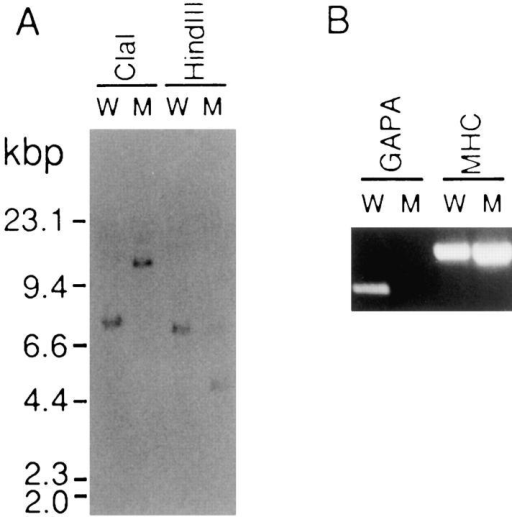 Southern blot (A) and reverse transcription–PCR (B)  analyses of wild-type AX2 (W) and mutant D42-2 (M) cells. (A)  2.5 μg of genomic DNA digested with either ClaI or HindIII was  loaded into each lane. The transferred DNA was probed with the  full-length gapA cDNA. (B) DNA amplified with the same amount  of total RNA and specific primers was loaded onto each lane. For  details, see Materials and Methods.