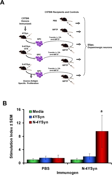 Scheme for immunization, lymphocyte proliferation assessment, and adoptive transfer of donor SPC in B6 mice.(A) B6 (H-2b) mice were immunized with 10 µg 4YSyn in PBS, 50 µg N-4YSyn in CFA, 10 µg N-4YSyn in PBS or PBS in CFA. Mice were boosted 14 days later with their respective antigens as formulated previously with or without IFA. After 5 days, single lymphoid cell suspensions were prepared and assessed for antigen-specific responses in standard lymphocyte proliferation assays. Single cell suspensions were pooled and adoptively transferred to MPTP-treated syngeneic recipients 12 hrs after the final MPTP injection. 5×107 donor immune SPC were adoptively transferred to MPTP-treated recipient mice. Survival of dopaminergic neurons in the SN of recipient mice were evaluated after 7 days. (B) Antigen specific proliferation of SPC from B6 (H-2b) mice (n = 5/group) immunized with PBS/CFA or N-4YSyn/CFA, and cultured for 5 days in media alone (green bars) or in the presence 1 µg/ml of 4YSyn (blue bars) or N-4YSyn (red bars). Cultures were pulsed for 18 hrs, cells harvested and 3H-thymidine incorporation counted by β-scintillation spectrometry. Values represent mean stimulation indices±SEM and analyzed by ANOVA and Bonferroni post-hoc tests. ap = 0.0478.