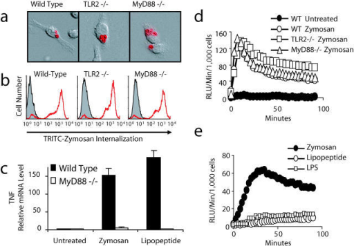 Zymosan engages receptors on macrophages other than TLRs. (a and b) Bone marrow–derived macrophages from wild-type, TLR2−/−, or MyD88−/− mice were incubated with tetramethylrhodamine isothiocyanate–labeled zymosan for 15 min. Phagocytosis was visualized by immunofluorescence microscopy (a) and quantified by flow cytometry (b). (c) Bone marrow macrophages from MyD88−/− or wild-type mice were stimulated with 100 μg/ml zymosan or 100 ng/ml PAM3CSK4 lipopeptide for 4 h and TNF-α mRNA production was measured by quantitative real-time PCR. (d and e) Production of ROS was assayed by luminol-enhanced chemiluminescence in peritoneal macrophages from wild-type, TLR2−/−, or MyD88−/− mice (d) stimulated with 200 μg/ml zymosan or in RAW 264.7 macrophages (e) stimulated with 100 μg/ml zymosan, 100 ng/ml LPS, or 100 ng/ml PAM3CSK4 lipopeptide.