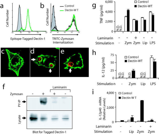 Zymosan triggers activation of dectin-1 and enhanced inflammatory responses in mouse macrophages. (a) V5 epitope–tagged dectin-1 expression was measured by flow cytometry in RAW cells stably overexpressing wild-type dectin-1 (green line) and in control RAW cells (shaded). (b) Control cells (black line) and cells overexpressing dectin-1 (green line) were incubated with tetramethylrhodamine isothiocyanate zymosan for 1 h and phagocytosis was measured by flow cytometry and compared with unfed control cells (shaded). (c–e) The cellular distribution of epitope-tagged dectin-1 (green) was examined by immunofluorescence microscopy in resting cells (c), cells fed zymosan (red) for 5 min (d), or in cells fed IgG-opsonized sheep red blood cells (red) for 5 min (e). (f) Cells expressing V5-tagged dectin-1 were fed 100 μg/ml zymosan for 15 min in the presence or absence of 50 μg/ml laminarin, total cell lysates were prepared, and the protein was detected in all lysates by immunoblot using an antibody for the tag (bottom). Tyrosine-phosphorylated proteins were immunoprecipitated from the lysates and recovery of dectin-1 was analyzed by immunoblot (top). (g and h) Induction of inflammatory responses was measured by ELISA in control RAW cells and cells overexpressing dectin-1 stimulated with 100 μg/ml zymosan (zym), 100 ng/ml PAM3CSK4 lipopeptide (Lip), or 100 ng/ml LPS for 4 (g, TNF-α) or 24 h (h, IL-12 p40) in the presence or absence of 500 μg/ml laminarin as indicated. N.D., none detected. (i) Induction of IL-12 p40 mRNA was measured by quantitative real-time PCR in cells stimulated for 4 h as in g.
