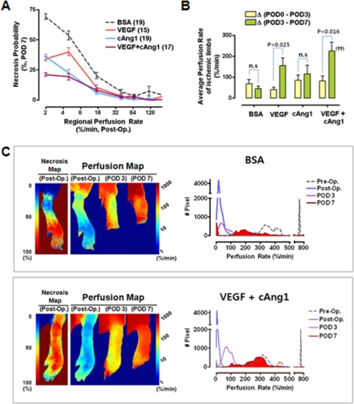 Synergistic proangiogenic effects of VEGF and cAng1.(A) Correlations between necrosis probability and regional perfusion rates were determined. (B) Differences in perfusion rates according to the time period are indicated for each group. ANOVA and Bonferroni post hoc test applied to the significant effect of groups on Δ (POD 3 - POD 7), (ANOVA F3,33 = 4.890, P = 0.006). ††, P = 0.004 vs. BSA control. Paired t-tests were performed for each intragroup comparison. (C) Representative examples of BSA control and combined treatment groups.