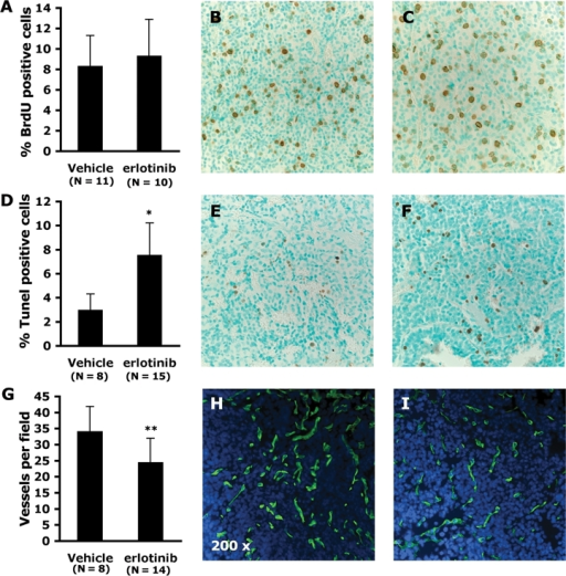 Phenotype of epidermal growth factor receptor (EGFR) inhibitor-treated pancreatic neuroendocrine tumorigenesis (PNET) tumors from RT2 mice. (A) Average percentage of dividing tumor cells (BrdU-positive) in vehicle- or erlotinib-treated mice following 1 week of treatment. (B-C) Representative micrographs of tumors from (B) vehicle- or (C) erlotinib-treated RT2 mice stained with an anti-BrdU antibody (200x). (D) Average percentage of apoptotic tumor cells (TdT-mediated dUTP-biotin nick end-labeling [TUNEL] positive) in tumors from vehicle- or erlotinib-treated mice following 1 week of treatment. (E-F) Representative micrographs of (E) vehicle- or (F) erlotinib-treated tumors stained with an anti-digoxigenin antibody following Tunel procedure (200x). (G) Average number of blood vessels per field (FITC-positive continuous segments) in vehicle- or erlotinib-treated mice following 1 week of treatment. (H-I) Representative micrographs of (H) vehicle- or (I) erlotinib-treated tumors that were collected following systemic perfusion with FITC-lectin to visualize the functional tumor vasculature (green); counterstaining with DAPI reveals the cellularity (blue) (200x). The panels are representative of 2 fields of tissue sections obtained from tumors in at least 4 treated RT2 mice. (N = number of independent tumors analyzed per treatment group). *P < 0.001. **P < 0.02.