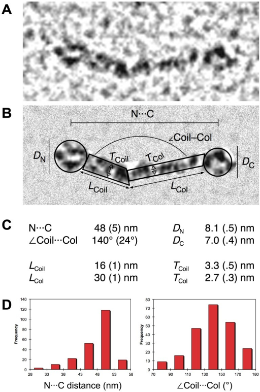 Molecular dimensions of rEPclA and its domains.(A) Magnified view of a representative rEPclA molecule from a rotary shadowing electron micrograph. (B) The same molecule with the background masked out showing the different molecular dimensions analyzed below. (C) Average dimensions obtained from multiple measures on electron micrographs: N···C and <Coil···Col are averages of 224 measures on eight rEPclA micrographs; DC, LCol and TCol are averages of 76, 35 and 74 measures, respectively, on three Col–PfC micrographs (Figure 10A); DN, LCoil and TCoil are averages of 200 measures on one PfN–PCoil micrograph (Figure 10B). (D) Histograms showing the distribution of N···C and <Coil···Col values on the sample of 224 rEPclA molecules.