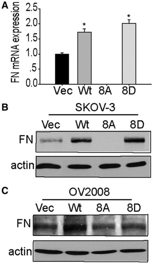 SPF45 overexpression enhances fibronectin expression in a phosphorylation site-specific manner. (A) Fibronectin mRNA expression was measured in stable SKOV-3 cells by qRT-PCR. Results from six experiments are shown as mean ± SE. *P < 0.05 versus vec group, #P < 0.05 versus wt group. (B) Protein lysates from cells in (A) were immunoblotted with anti-fibronectin (FN) and anti-actin antibodies. (C) Fibronectin protein levels in OV2008 stable cell lines were determined by immunoblotting as in (B).