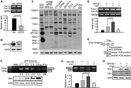 Clk1 enhances SPF45-induced exon 6 exclusion from Fas mRNA. (A) SKOV3 cells were transfected with siRNA against SPF45 (siSPF45) or scrambled control siRNA (scr) for 72 h, and RNA was isolated. Endogenous Fas spliced isoforms were analysed by RT-PCR using primers flanking exon 6. PCR products representing mRNA including exon 6 [Fas (L)] and excluding exon 6 [Fas (S)] are shown and are quantified in the graph, with the ratio Fas (S) to Fas (L) set to one in the control siRNA group. The resuslts are from three independent experiments performed in duplicate and were statistically significant. (B) Parallel cultures to those in (A) were lysed for western blotting using antibodies to SPF45 and actin. (C) Cell lysates from the indicated cell lines were immunoblotted for SPF45 using a polyclonal antibody to recombinant His-SPF45. COS-1 cells transfected with untagged SPF45 (COS-1, +con) and OV2008 cells expressing control or SPF45-specific shRNA served as positive controls. The SPF45 band (SPF45) and an SPF45 degradation product (degr.) in the positive control lane are labelled. (D) COS-1 cells were cotransfected with Myc-SPF45 (0.6 μg) and Clk1 (0.8 μg) and endogenous Fas spliced products were analysed by RT-PCR 24 h after transfection. A representative gel is shown. The means and SE for the relative ratio of exon 6 exclusion from three experiments done in duplicate are shown under the gel images. (E) Schematic of the ΔFas minigene splicing reporter used in transfection assays and the different mRNA isoforms derived from it, representing inclusion or exclusion of exon 6. (F) SPF45 expression induced exon 6 exclusion in a dose-dependent manner. COS-1 cells were co-transfected with ΔFas and increasing amounts of Myc-SPF45. Total RNA was extracted at 24 h and analysed by RT-PCR using ΔFas-specific primers. A representaive gel from at least three independent experiments is shown, and the ratio of the lower band to the upper band is shown below the gel. The lower panel represents a western blot of Myc-SPF45 and actin protein expression from one experiment. (G) Clk1 overexpression promotes SPF45 alternative splicing activity. COS-1 cells were cotransfected with ΔFas (0.3 μg), Myc-SPF45 (0.6 μg) and Clk1 (0.8 μg), and spliced products were analysed by RT-PCR 24 h after transfection. A representative gel is shown. The means and SE for the relative ratios of exon 6 exclusion are shown under the gel images. Results were derived from three independent experiments done in duplicate. Statistical significance (P < 0.01) is indicated in the graph. (H) Clk1 overexpression enhanced SPF45 protein levels. Protein lysates were prepared from cells transfected as in (G) and were subjected to western blotting using antibodies to Myc, Clk1 and actin.