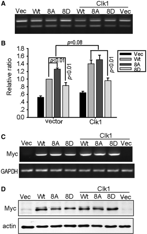 Mutation of Clk1 phosphorylation sites on SPF45 regulates SPF45 splice site utilization. (A) COS-1 cells were transfected for ΔFas splicing assays as above using either Myc-SPF45, Myc-SPF45-8 A or Myc-SPF45-8D in the absence or presence of either empty vector or Clk1. Twenty-four hour post-transfection, spliced products were analysed by RT-PCR. A representative gel is shown. (B) The means and SE for the relative ratios of exon 6 exclusion from (A) are shown in the graph. Results were derived from three independent experiments in duplicate and statistical significance (P < 0.01) is indicated. (C) The same as in (A), but total RNA was subjected to RT-PCR analysis using primers specific to Myc-SPF45 and GAPDH. (D) Protein lysates from cells transfected in parallel were immunoblotted with anti-Myc and anti-actin antibodies.
