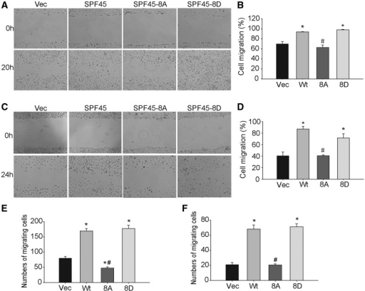 SPF45 overexpression enhances ovarian cancer cell migration in a phosphorylation site-specific manner. (A) SKOV-3 cell lines stably expressing Myc-SPF45, Myc-SPF45-8A, Myc-SPF45-8D or empty vector were grown to confluence. Cells were pre-treated with mitomycin-C for 3 h before being scratched and wound closure was recorded at 20 h by phase contrast microscopy. Representative images of six experiments are shown. (B) Wound closure in (A) was calculated using Image J software and expressed as a percentage of the initial scratched area. Results shown are mean ± SE. *P < 0.05 versus vector group, #P < 0.05 versus wt-SPF45 group. (C and D) Scratch assays in OV2008 stable cells. The methods were the same as in (A and B). (E and F) Transwell migration assays. Stable (E) SKOV-3 cells (2 × 104) or (F) OV2008 cells (5 × 104 cells) in 0.1% FBS were added to the upper chamber, and 400 µl of 10% FBS was added to the lower chamber of a transwell dish. After 24 h, non-migrating cells were removed from the upper surface of the membrane, and the migrating cells were fixed with 4% paraformaldehyde and stained with 0.1% crystal violet. Migrating cells were photographed and counted. Results from six experiments are shown as mean ± SE. *P < 0.05 versus vector group, #P < 0.05 versus wt-SPF45 group.