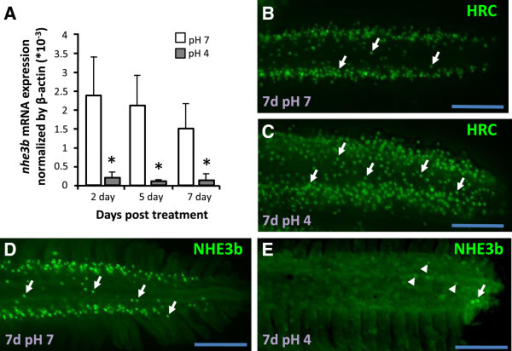 Down-regulation of nhe3b in gills under acid stress. (A): Expression of nhe3b mRNA in gills treated with control pH7 FW (white bars) or acidic pH4 FW (gray bars) for the indicated days. Mean ± SD (n = 6). *p < 0.05 (Student's t-test). (B-E): Immunostaining images of H+-ATPase (H-pump) and NHE3b in gills from adult zebrafish maintained in pH7 FW (B, D) or pH4 FW (C, E) for 7 d. Arrow, NCC or NHE3b signal; arrow head, weaker NHE3b signal. Scale bar = 100 μm.
