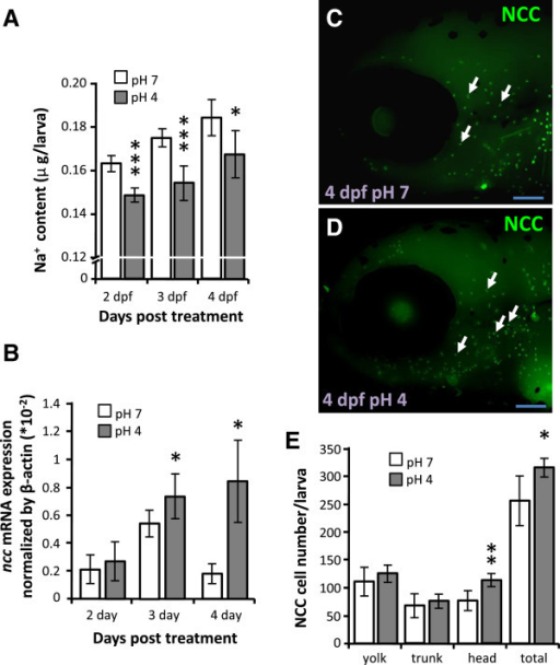 Effects of acid stress on Na+ accumulation and NCC expression in zebrafish larvae. (A, B): Comparison of whole body Na+ content (A) and ncc mRNA expression (B) in larvae treated with control pH7 (white bars) or acidic pH4 FW (gray bars) for 4 d. Mean ± SD (n = 6). (C, D): Immunostaining images of NCC (arrow) in 4-dpf larvae under pH7 or pH4 FW for 4 d. Scale bar = 100 μm. (E): Comparison of NCC cell number in different areas of 4-dpf larvae treated with pH7 (white bars) or pH4 FW (gray bars) (n = 8). *p < 0.05; **p < 0.01; ***p < 0.001 (Student's t-test).